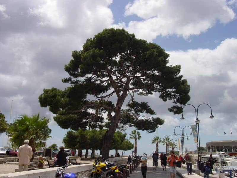 Stone Pines are found in the gardens and surrounding landscape of Southern France, Italy, Spain, Portugal and many other Mediterranean countries.