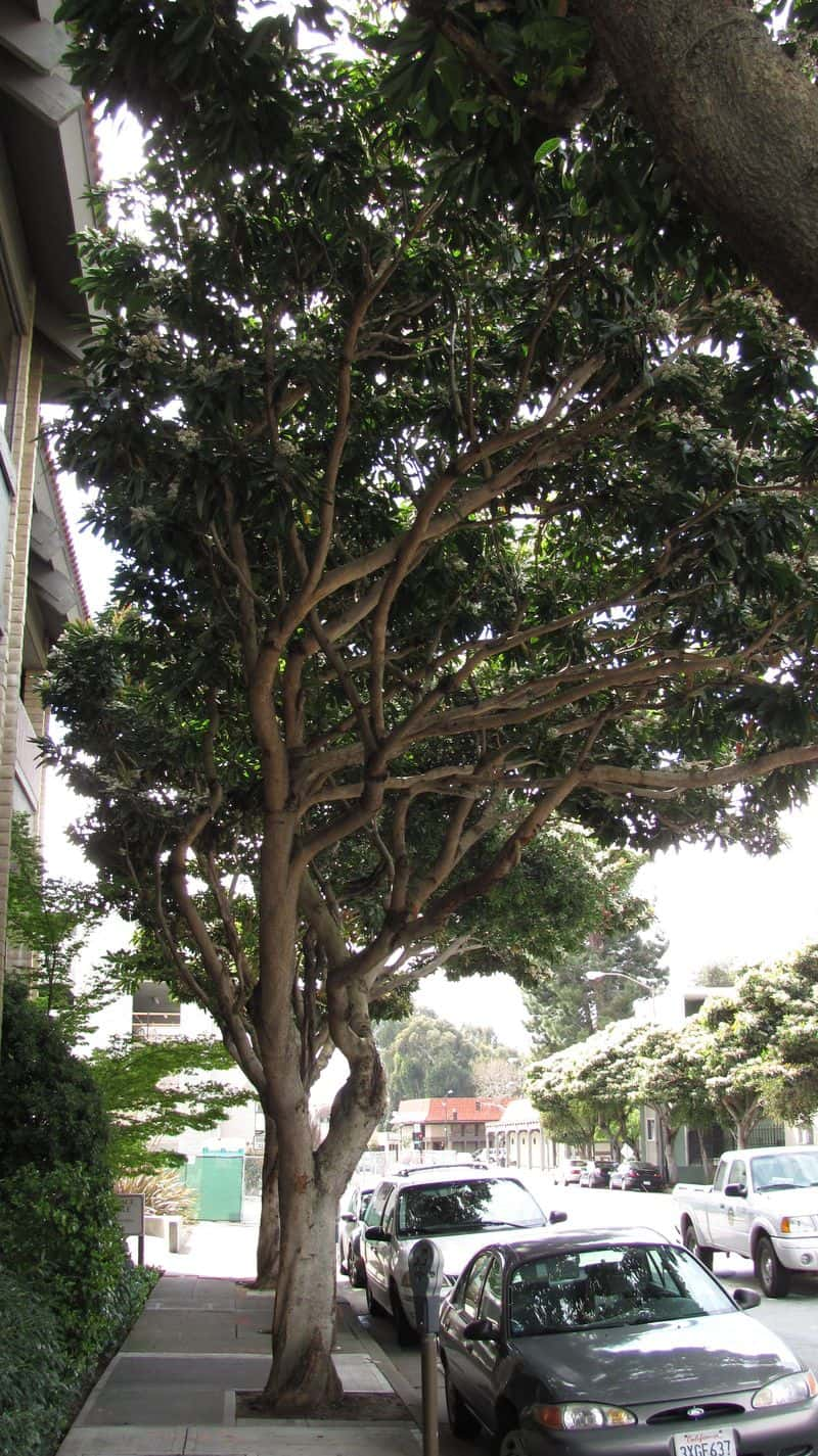 It has beautiful branching structure and is usually multi-trunked.