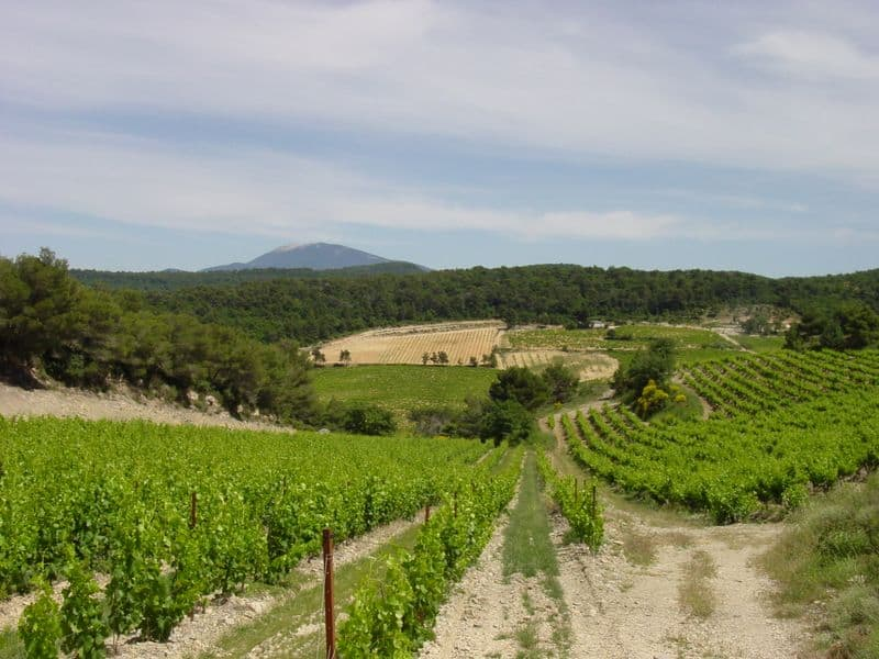 Grape Vineyards are planted throughout Provence.
