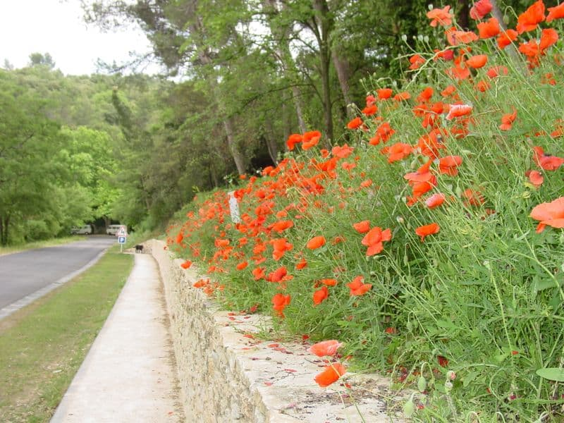 These gorgeous red poppies aren't as plentiful in Provence as Italy or Spain but they are stunning.