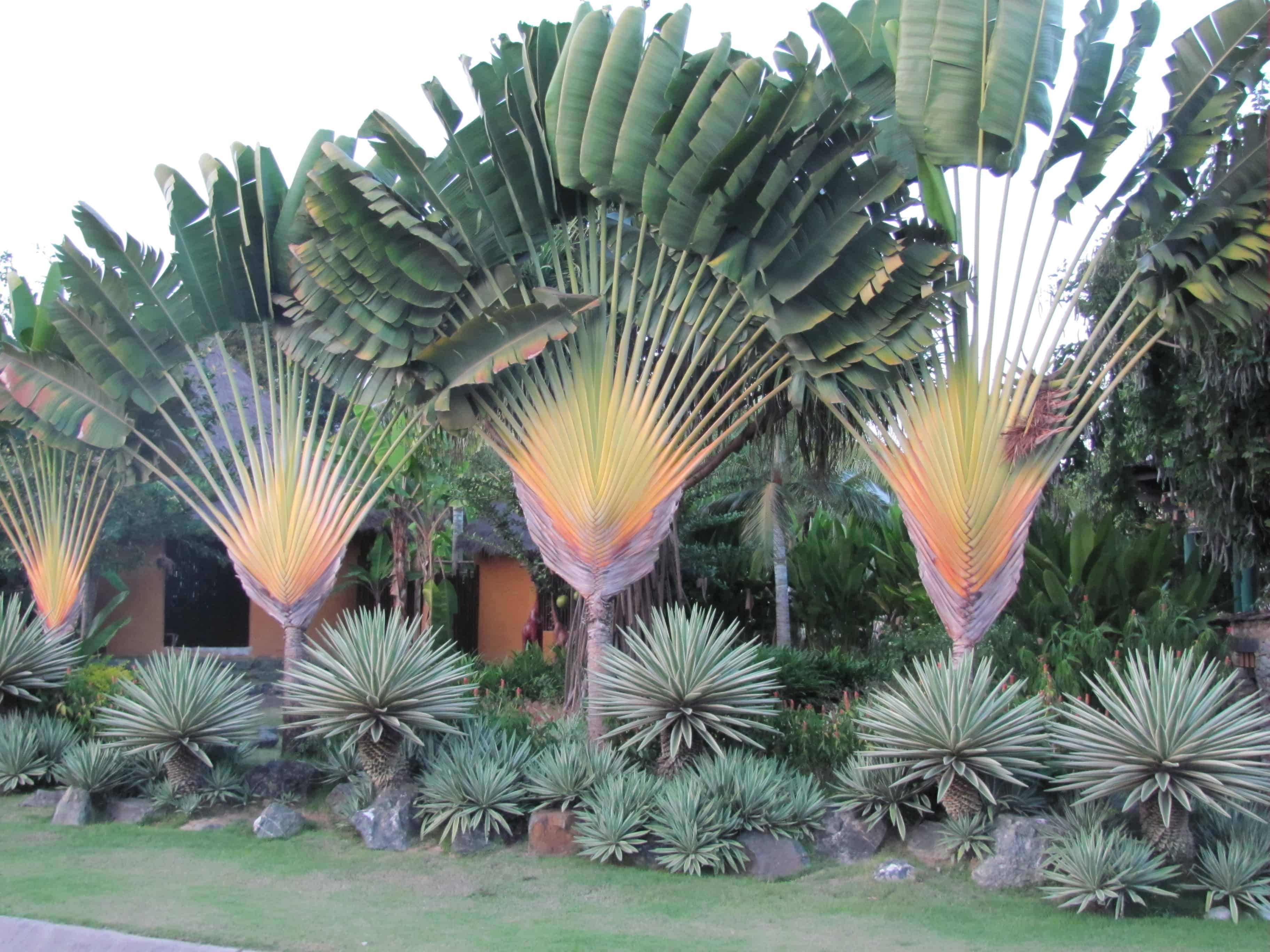 Ravenala madagascariensis traveler 39 s palm gardencrafters for Plantes exotiques exterieur